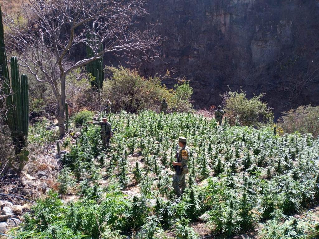 Queman 2 plantíos de mariguana